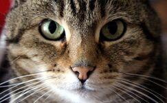 Cat-front
