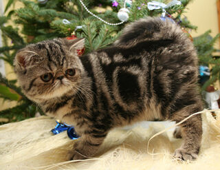 Exotic Shorthair - (Brown Tabby) - Kitten