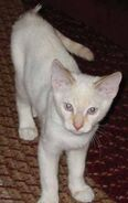 Young male flame point Siamese