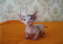 Bambino cat.png