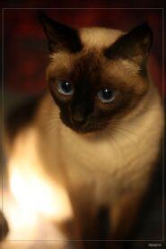 Сиамская кошка фото3