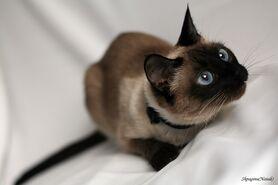 Сиамская кошка фото4