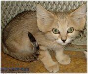 Барханный кот.jpg