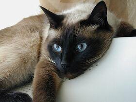 Сиамская кошка фото6.jpg