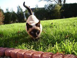 Сиамская кошка фото5