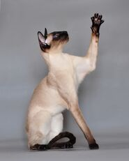 Siamese cat Vaillante