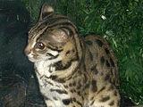 Бенгальская кошка (дикая)
