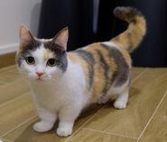 Munchkin cat - orig