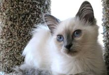 Balinese-cat-9.jpg.pagespeed.ce.hP5fXM0vZw.jpg