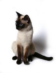 Сиамская кошка.png