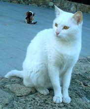 Анатолийская кошка.jpg