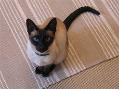 Сиамская кошка фото1