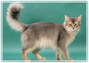 Somali cat1 9791 blue