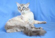 Balinese-cat-3.jpg.pagespeed.ce.0lK42FIa3w.jpg