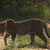 Leopards Rule