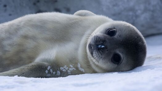 Google Image Result for https://upload.wikimedia.org/wikipedia/commons/9/9c/B%C3%A9b%C3%A9_Phoque_de_Weddell_-_Baby_Weddell_Seal.jpg