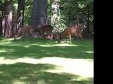Deer (Elmo's World)