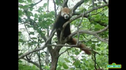 Elmo's World Red Panda.png