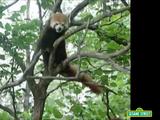 Red Panda (Elmo's World)