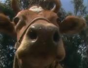 Cow (Kidsongs).png