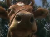 Cow (Kidsongs)