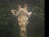 Giraffe (Kidsongs)