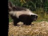 Skunk (Barney & Friends)