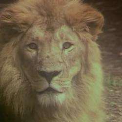 Lion (Kidsongs)