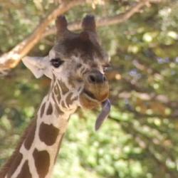 Giraffe (Barney & Friends)