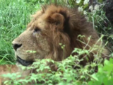 Lion (Maple Leaf Learning)