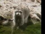 Raccoon (Kidsongs)