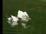 Ducks (ABC's Sing-A-Long)