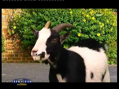 Gobo the Goat