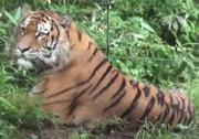 Maple Leaf Learning Tiger.png