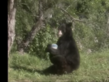 Bear (Kidsongs)