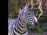 Zebra (Barney & Friends)