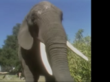 Elephant (Kidsongs)