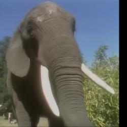 Elephant (Kidsongs)