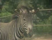 Zebra in A Day with the Animals.png