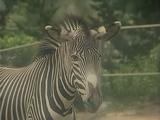 Zebra (Kidsongs)