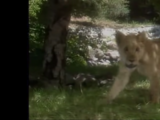 Lioness (Kidsongs)