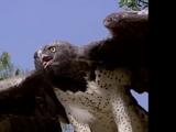 Eagle (Kidsongs)