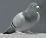 Bernice the Pigeon