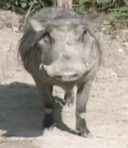 Warthog in Let's Go To The Zoo.png