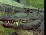 Alligator (Kidsongs)