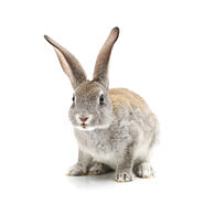 Rabbit-blood