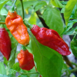 Peppers originating from Asia