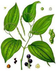 Piper nigrum - Köhler–s Medizinal-Pflanzen-107.jpg