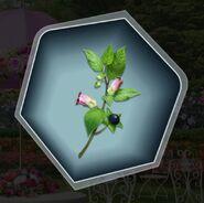 Trh3 belladonna plant flower