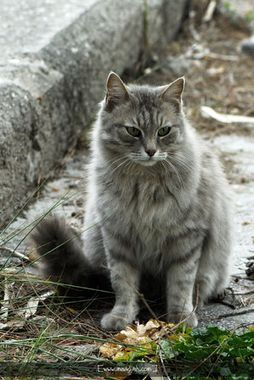 Gray Longhair Cat by NilgunT.jpg